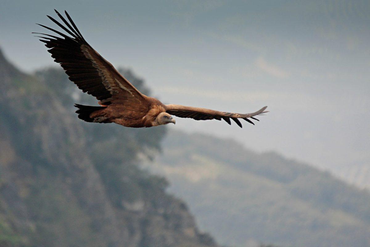 Buitr eleonado en el Parque Natural Sierra de Aracena y Picos de Aroche