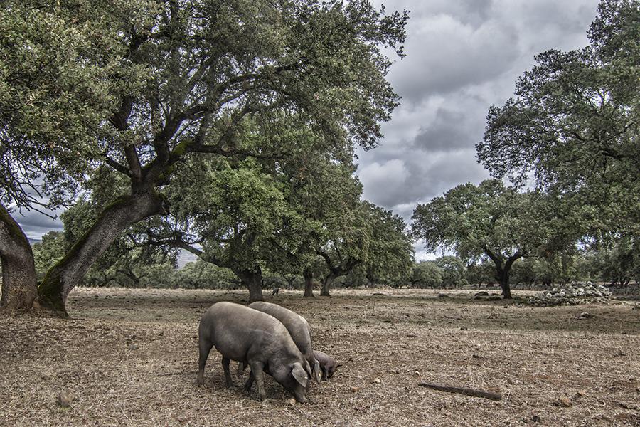 Cerdos ibéricos en la dehesa del Parque Natural Sierra de Hornachuelos
