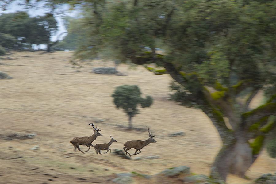 Ciervos en Sierra Morena