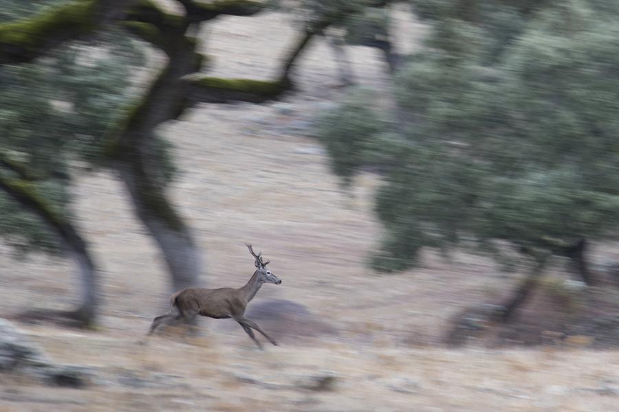 Ciervo en la dehesa del Parque Natural Sierra de Hornachuelos