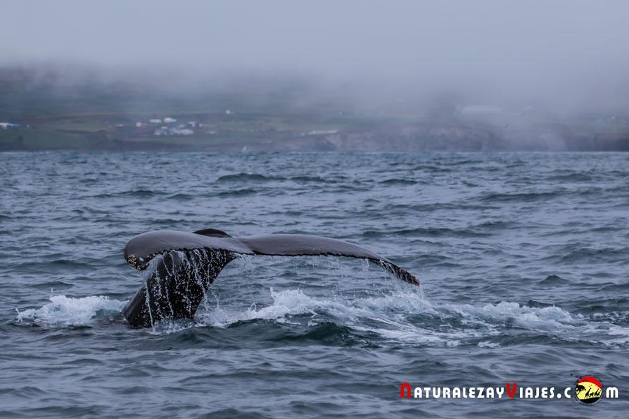 Avistamiento de ballenas en Húsavík, Islandia