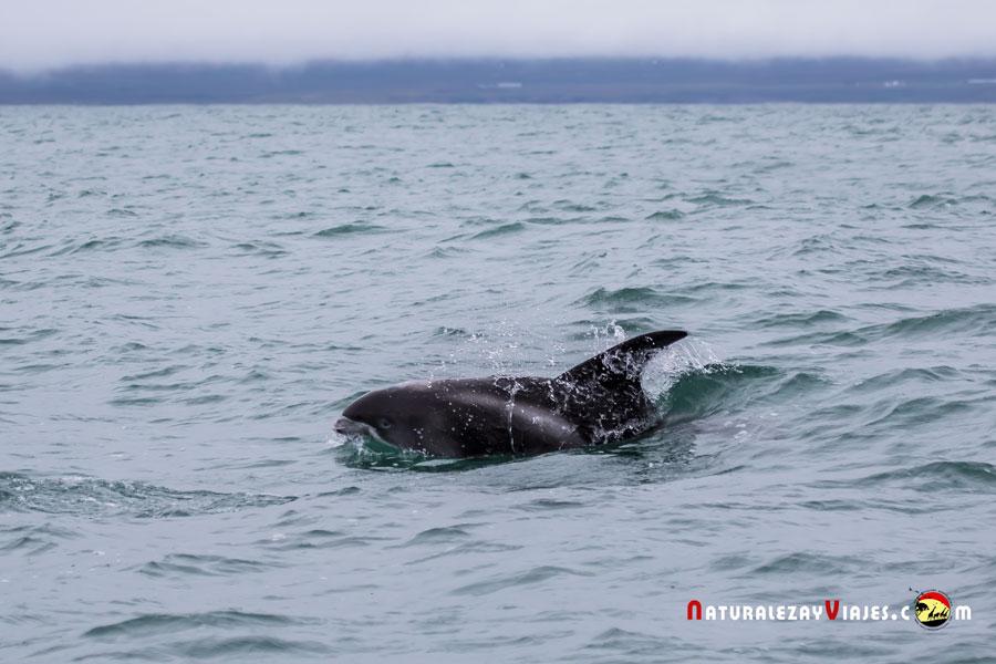 delfín en Tavira