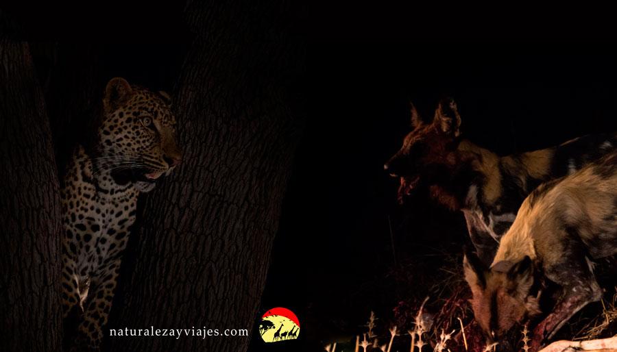 Licaones y Leopardos. Una escena de caza de lo más excitante