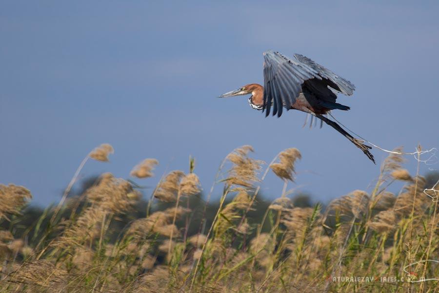 Garza Goliat en Zambezi, Zambia