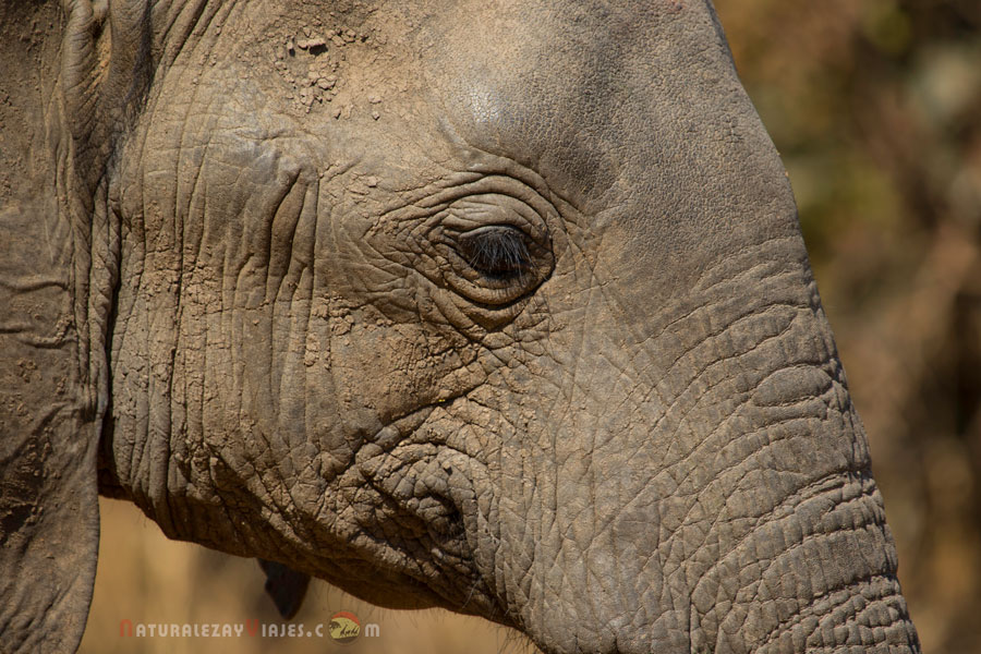 Elefante en South Luangwa, Zambia