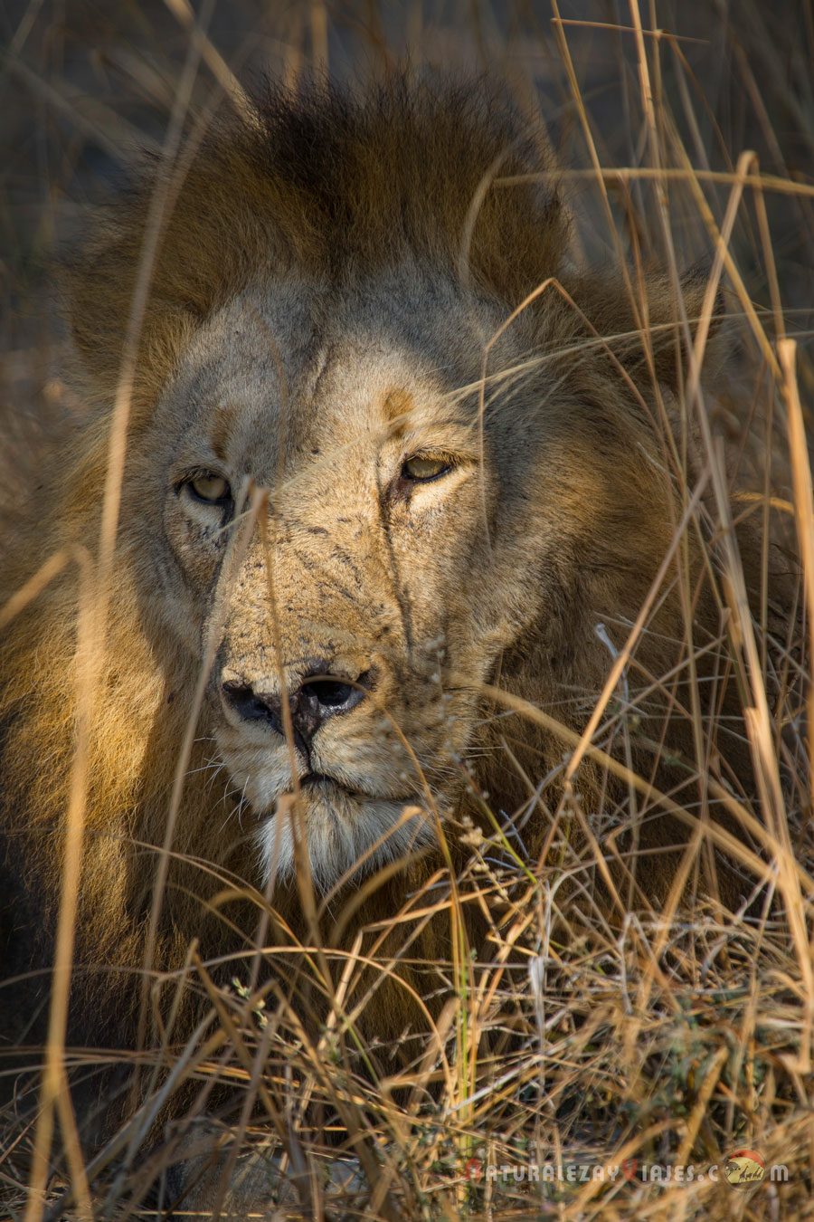León en South Luangwa, Zambia