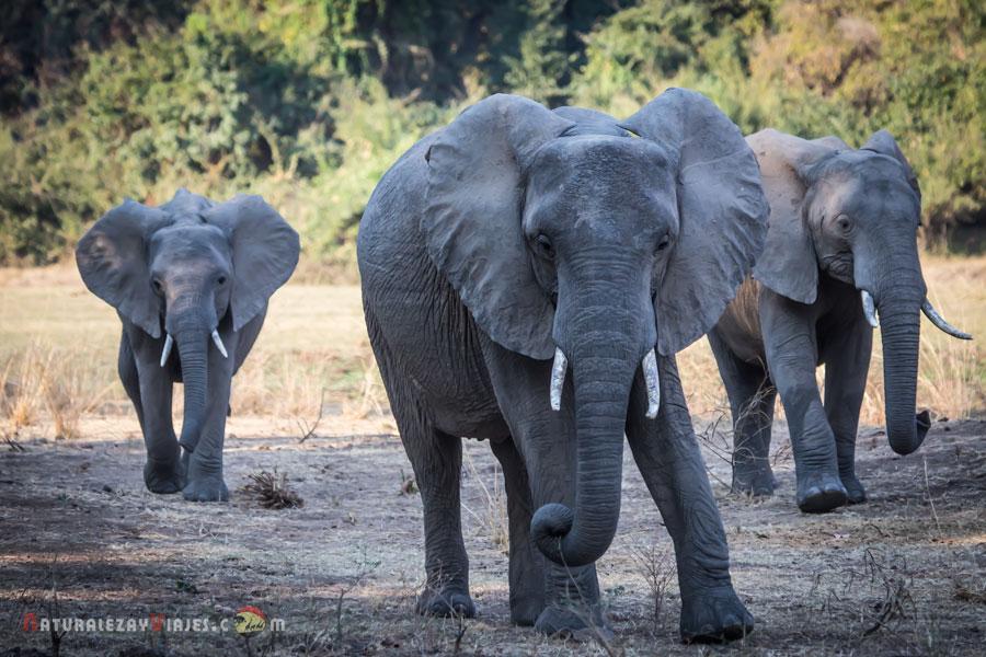 Elefantes en Kafue, Zambia