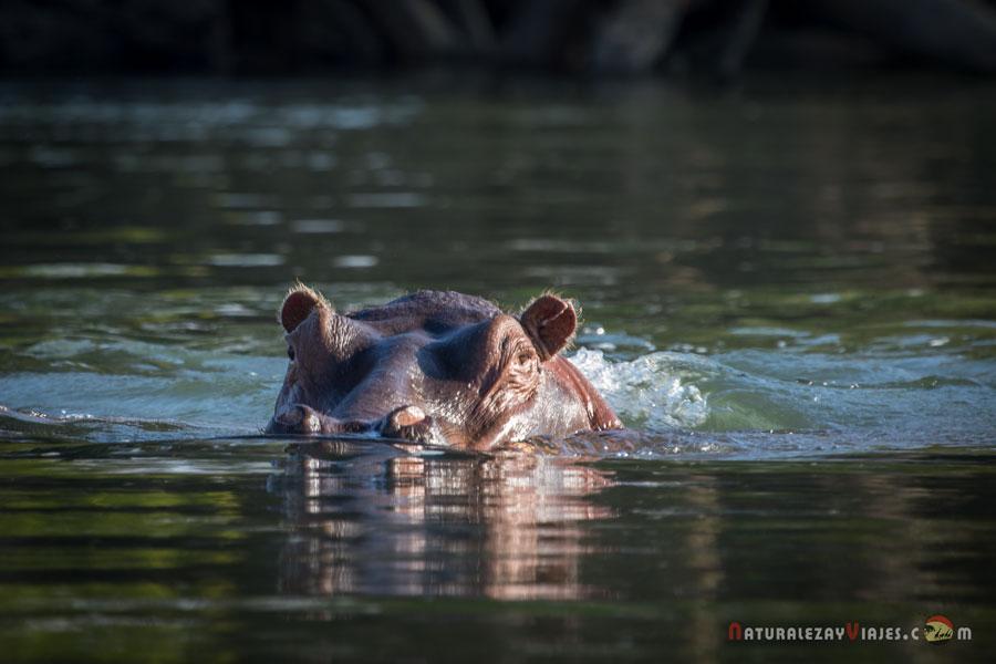 Hipopótamo en Kafue, Zambia