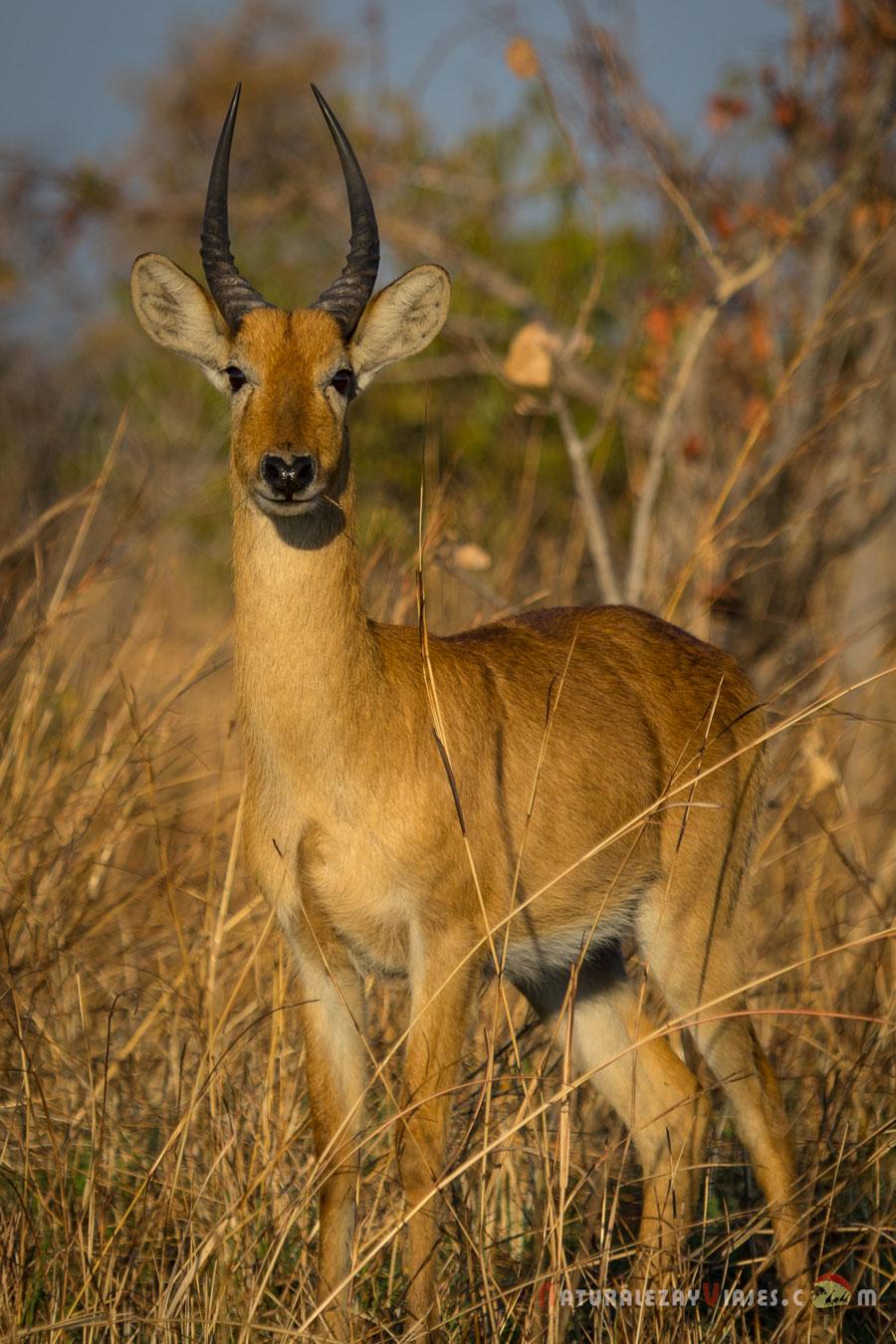 Puku en Kafue, Zambia