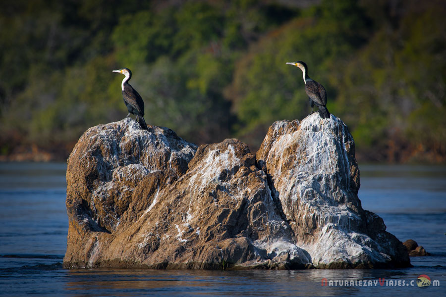 Cormoranes en Kafue, Zambia