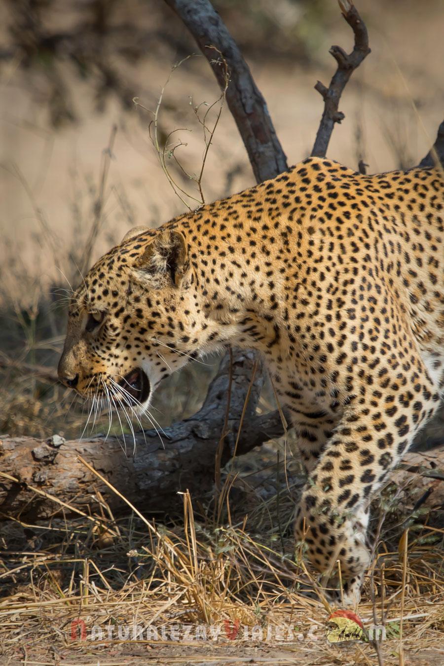 Leopardo en South Luangwa, Zambia