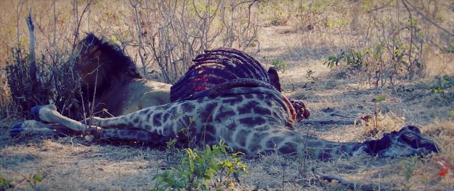 León en Chobe, Botswana