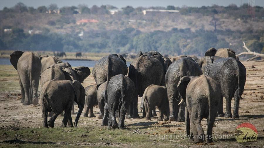 Elefantes en Chobe, Botswana