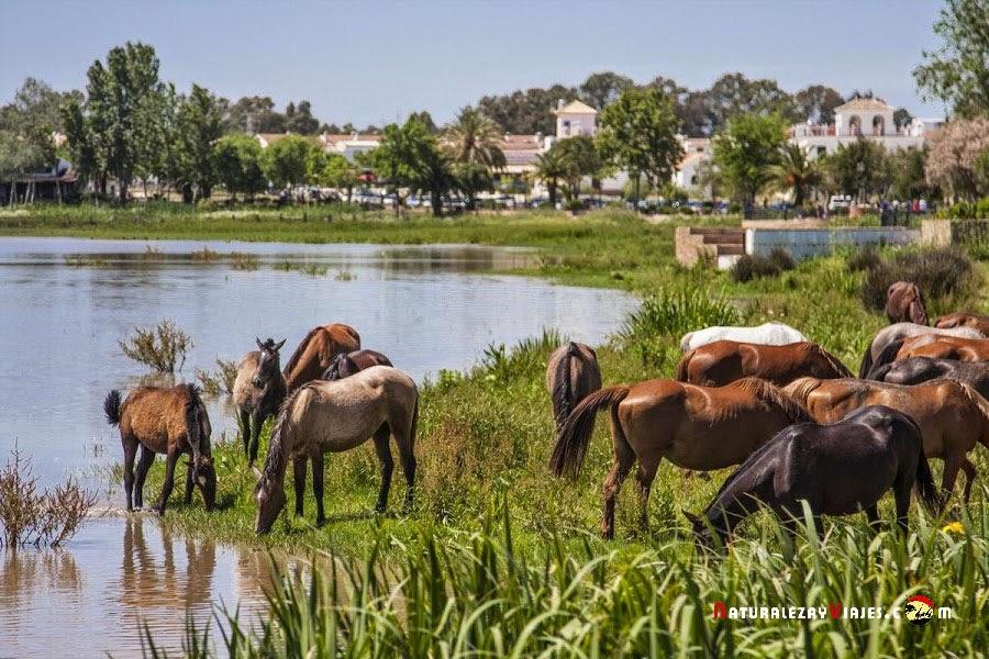 Caballos en la MArisma del Rocio, Almonte Huelva