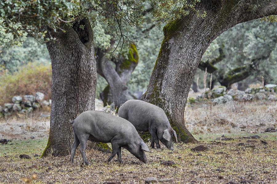 Cerdos en la dehesa de Aracena