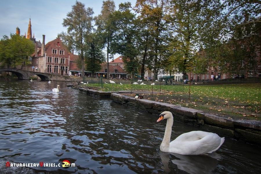 Cisne en Beaterio