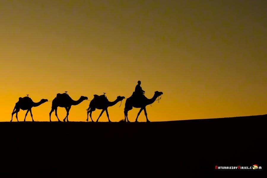 Dromedarios en dunas Erg Chebbi, desierto de Merzouga