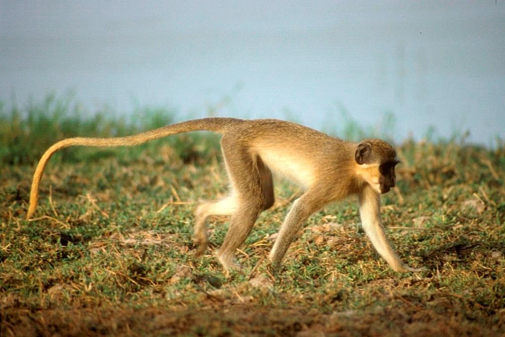 Mono verde, Parque Nacional Niokolo-Koba, Senegal