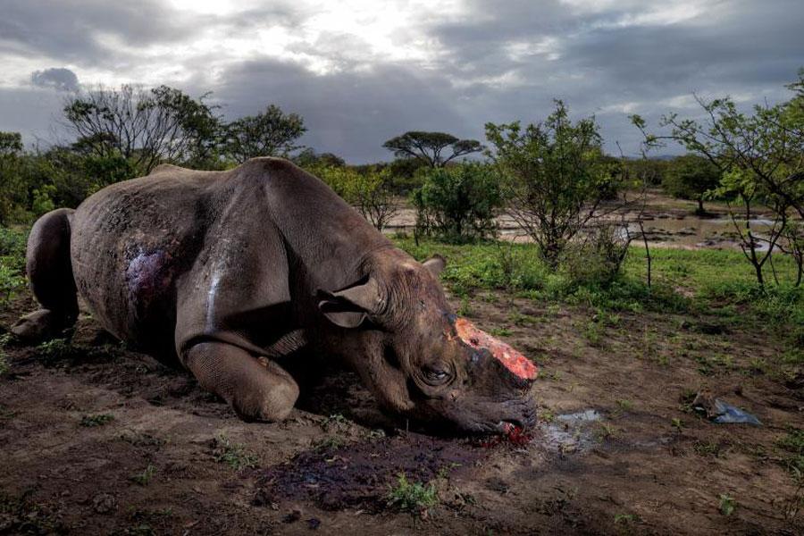 Rinoceronte negro abatido por algún furtivo