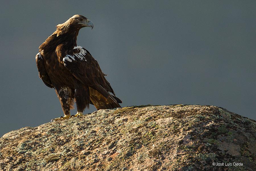 Águila imperial ibérica en la Sierra de Andújar