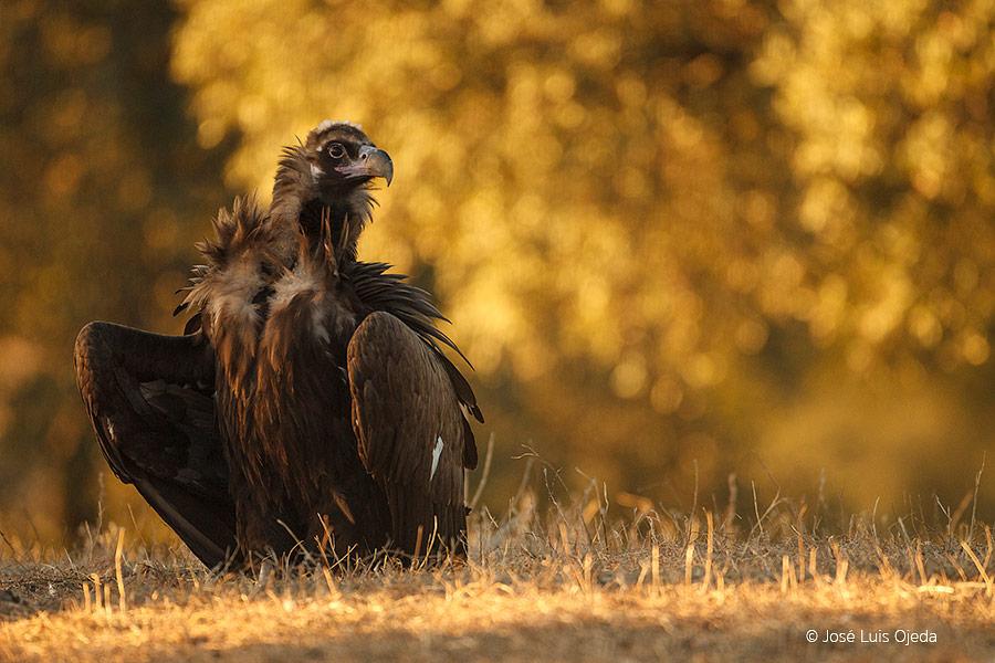 Buitre negro en Parque Natural Sierra de Andújar, el mayor santuario del lince ibérico
