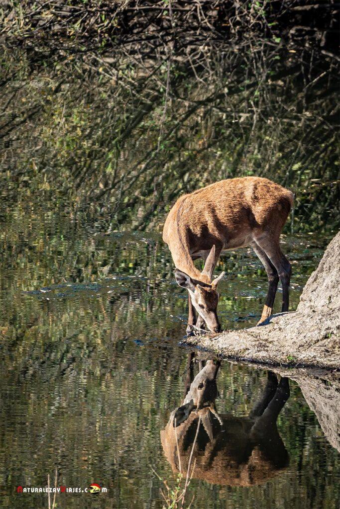 Ciervos en la sierra de Andújar