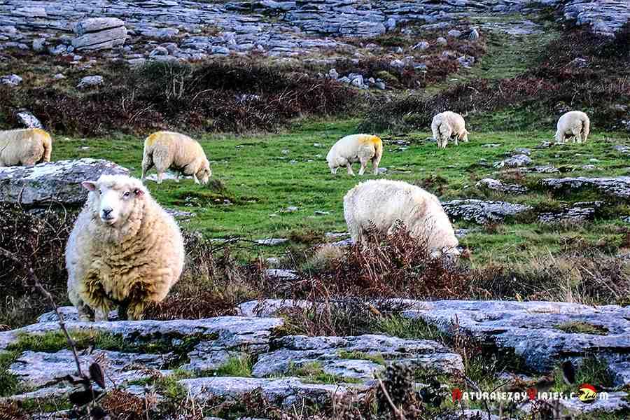 Ovejas en Irlanda