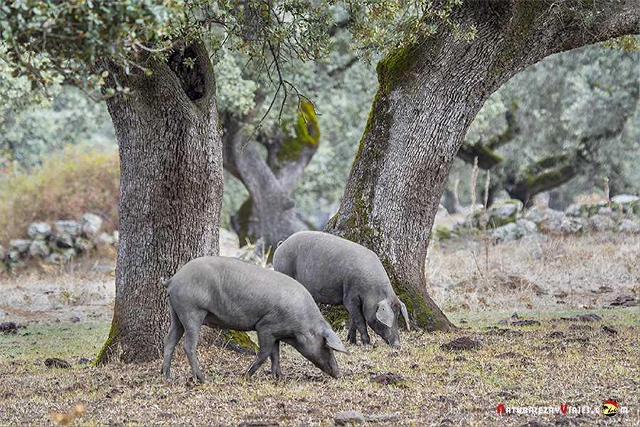 Cerdos Sierra Aracena Huelva