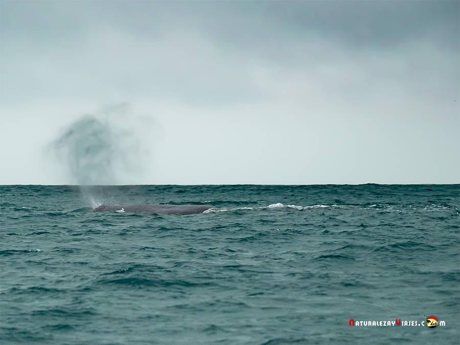 Avistamiento de Cachalote en Azores