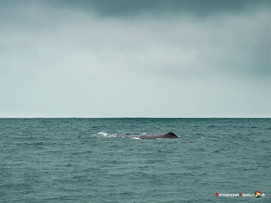 Cachalote durante el avistamiento de ballenas en Azores