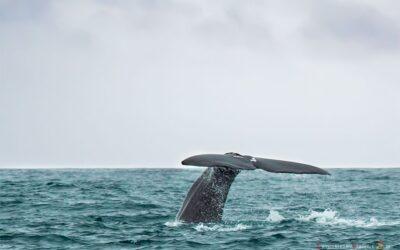 Avistamiento de ballenas y delfines en Azores