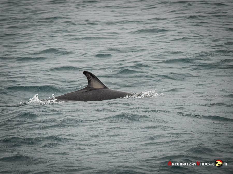 Delfín en la Isla Sao Miguel para el avistamiento de ballenas en Azores