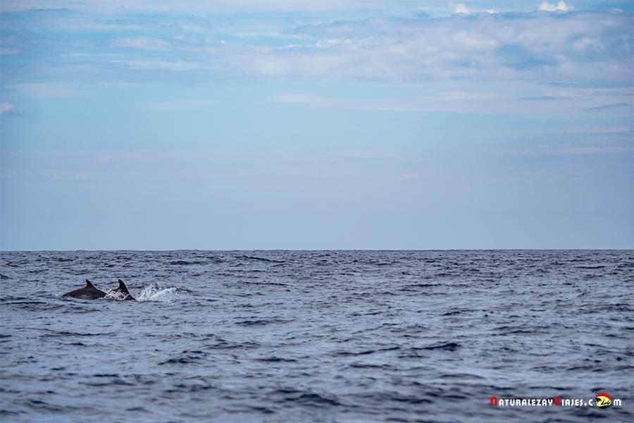 Delfines durante el avistamiento de ballenas en Azores