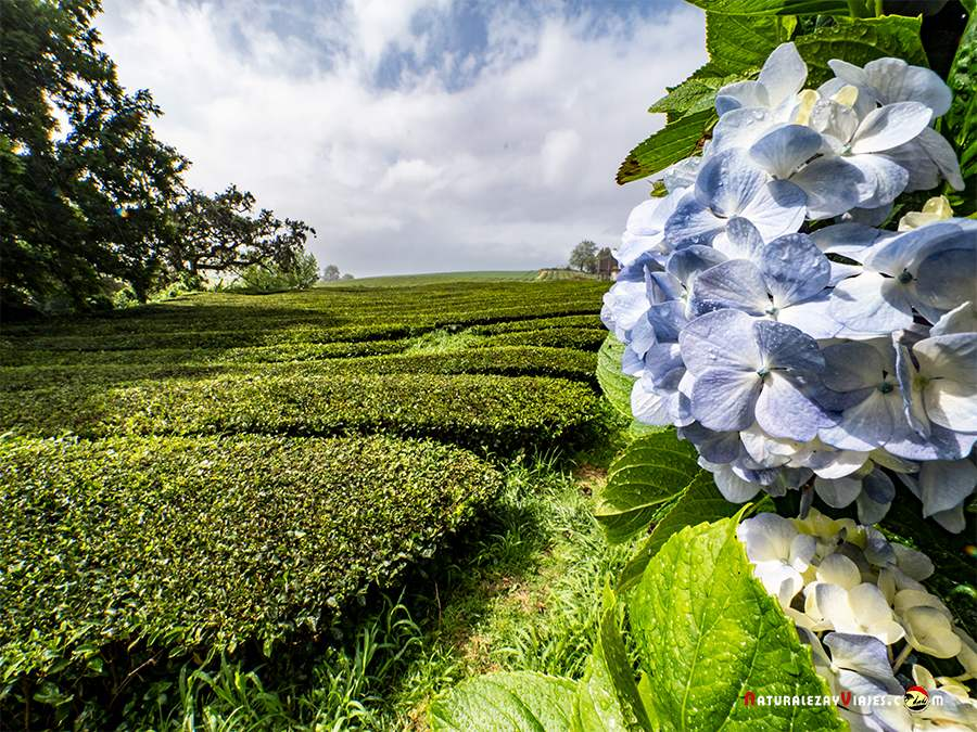 Campos de té Gorreana, para visitar en São Miguel, Azores
